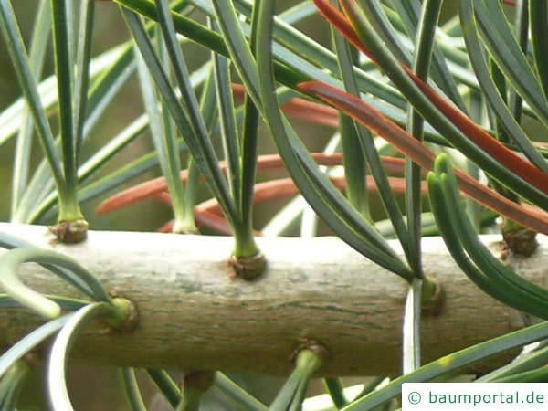 Zirbel-Kiefer (Pinus cembra) Nadeln