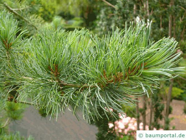 Zirbel-Kiefer (Pinus cembra) Zweig