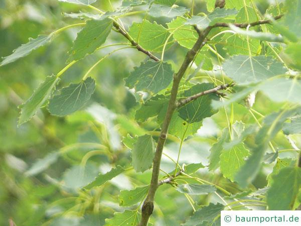 Zitter-Pappel (Populus tremula) Blätter