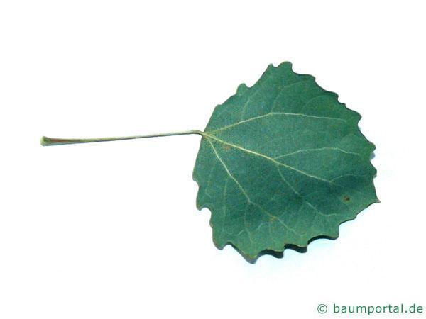 Zitter-Pappel (Populus tremula) Blattunterseite
