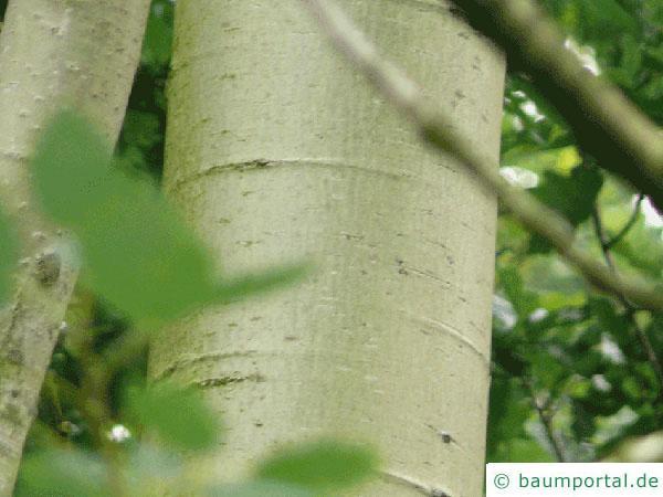 Zitter-Pappel (Populus tremula) Stamm / Borke / Rinde
