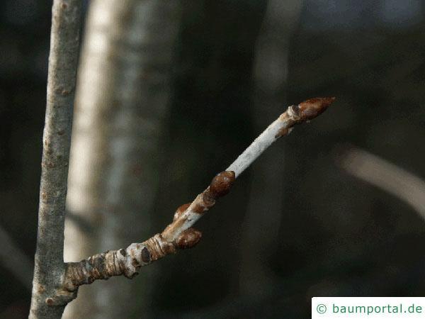 Zitter-Pappel (Populus tremula) Zweig