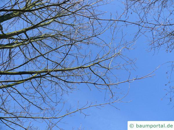 Zucker-Ahorn (Acer saccharum) Äste im Winter