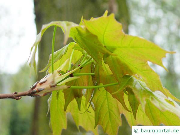 Zucker-Ahorn (Acer saccharum) im Austrieb