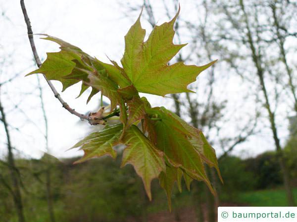 Zucker-Ahorn (Acer saccharum) Blätter im Frühjahr