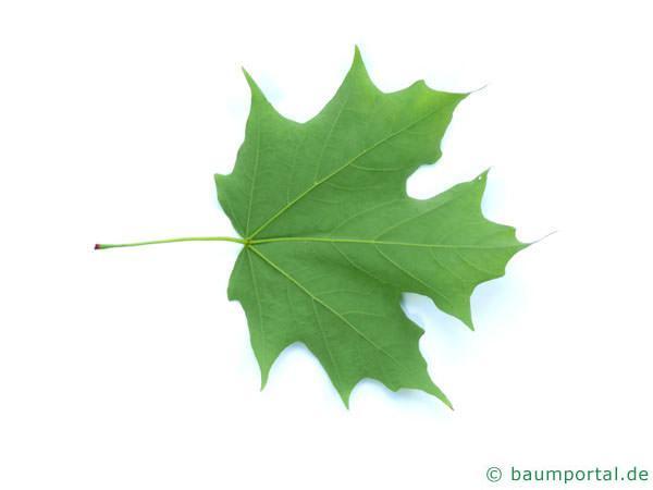 Zucker-Ahorn (Acer saccharum) Die Blattrückseite