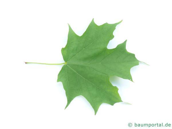 Zucker-Ahorn (Acer saccharum) Blatt