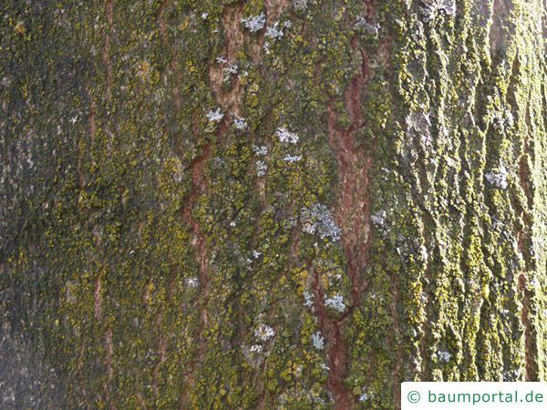 Zucker-Ahorn (Acer saccharum) Stamm / Borke / Rinde