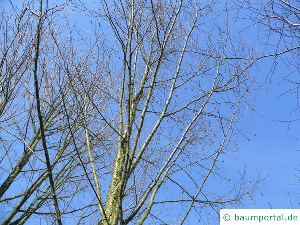 Zucker-Birke (Betula lenta) Baum im Winter