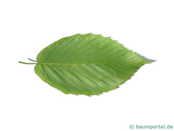 Zucker-Birke (Betula lenta) Blattrückseite