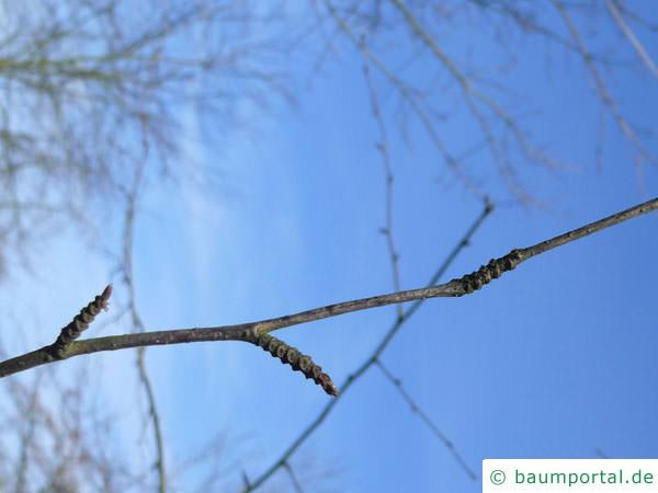 Zucker-Birke (Betula lenta) Seitenknospen