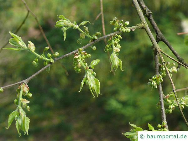 amerikanischer Zürgelbaum (Celtis occidentalis) Austrieb im Frühjahr