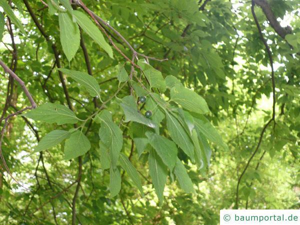 amerikanischer Zürgelbaum (Celtis occidentalis) Blätter