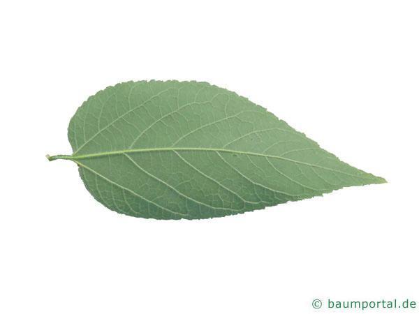 amerikanischer Zürgelbaum (Celtis occidentalis) Blattunterseite