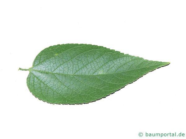 amerikanischer Zürgelbaum (Celtis occidentalis) Blatt