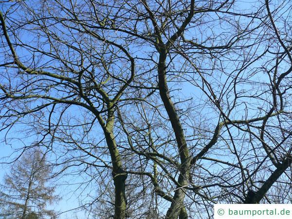 amerikanischer Zürgelbaum (Celtis occidentalis) Baumkrone im Winter