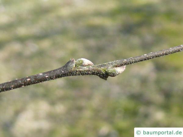 amerikanischer Zürgelbaum (Celtis occidentalis) Seitenknospen