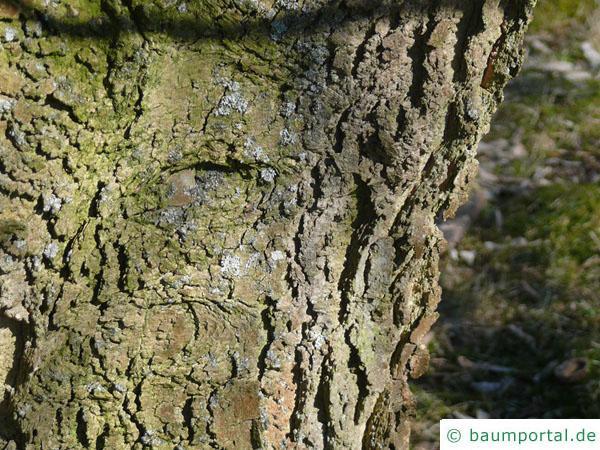 amerikanischer Zürgelbaum (Celtis occidentalis) Stamm / Borke / Rinde