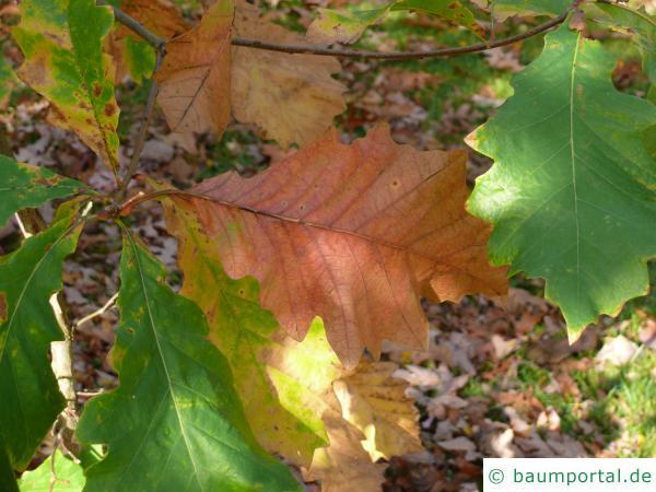zweifarbige Eiche (Quercus bicolor) Herbstfärbung
