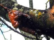 Frostriss bei der Walnuss