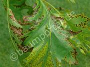 braune Blätter an der Rot-Eiche durch Blattbrand