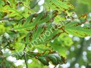 braune Blätter an der Eiche durch Blattbrand