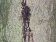 Eichensterben nässender Riss Anfangstadium