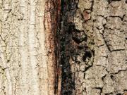 Eichensterben nässender Riss im Endstadium