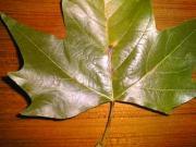 Blattbräune am Blatt der Platane