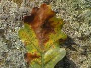 Blattbräune an einem Blatt der Eiche