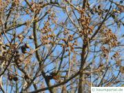 Blauglockenbaum (Paulownia tomentosa) Knospen