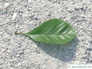 frostiger Weißdorn (Crataegus pruinosa) Blatt