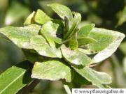 Rosengallmücke an Weiden