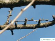 Ginkgo (Ginkgo biloba) Ast im Winter