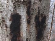 Erlensterben - Schwarzer Ausfluss aus der Rinde