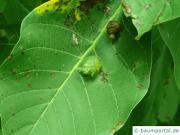 Walnuss Galle (Aceria erinea)