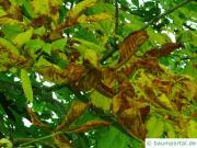 Hellere Blätter