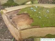 Massaria (Splanchnonema platani) befallener Ast