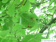 Microstroma-Blattflecken an Walnuss
