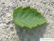 Quebec Weißdorn (Crataegus submollis) Blatt