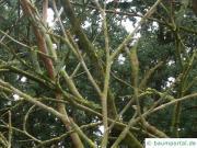 schwarze Maulbeere (Morus nigra) Zweige im Winter