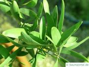 Schwarzholz-Akazie (Acacia melanoxylon) Blatt