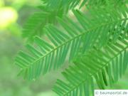 Silber-Akazie (Acacia dealbata) Blatt