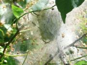 Gespinstmotte (Yponomeuta evonymellus)