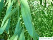 Wasser-Akazie (Acacia retinodes) Blatt