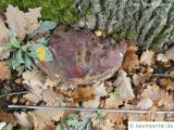 harziger Lackporling Pilz