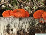 Zinnoberschwamm Fruchtkörper an einer Birke