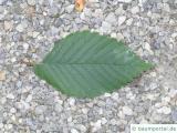 amerikanische Ulme (Ulmus americanus) Blatt