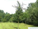 Birne (Pyrus communis) Birnenbaum im Sommer