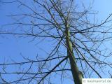 Bitternuss (Carya cordiformis) Krone im Winter
